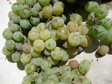 Concord_Grapes[1].jpg